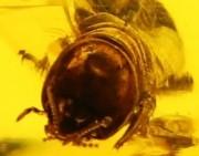 欣赏 | 练习微距照,来块虫珀大家看看~!~大白蚁